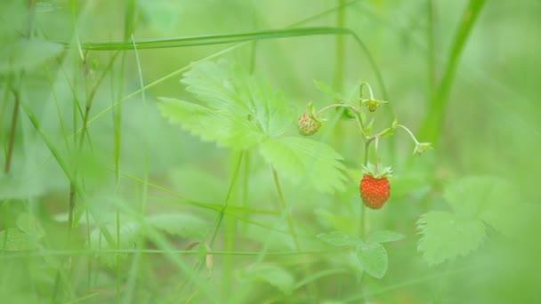 Přírodní pozadí s zralé bobule lesní jahody. Letní den v lese.