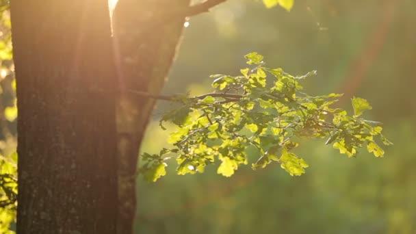 Nyári természetes háttér a leveles zöld tölgy.