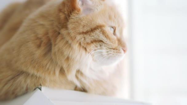 Niedliche Ingwerkatze, die auf der Fensterbank liegt und auf etwas starrt. flauschiges Haustier zu Hause.