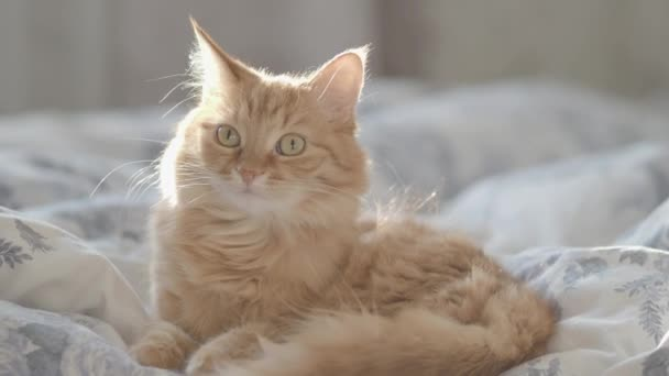 Cute ginger cat lying in bed on blanket. Fluffy pet looking curious. Cozy home background with funny pet.
