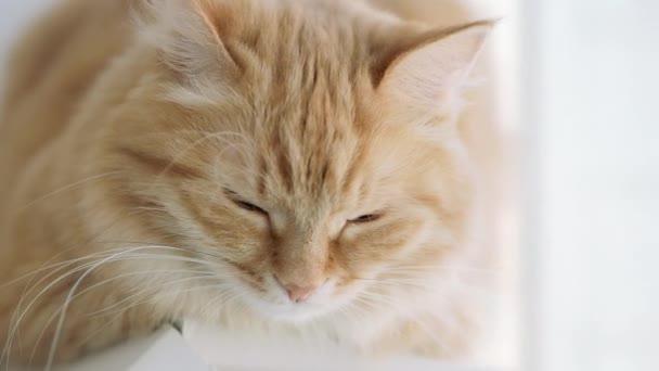 Roztomilá zázvorná kočka ležící na okenní parapetu a na něčem zírala. Chlupaté domácí zvířátko.