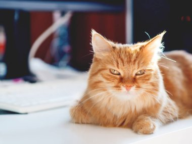 Cute ginger cat lying on white table near computer keyboard. Fluffy pet staring in camera. Symbol of freelance job, work from home.