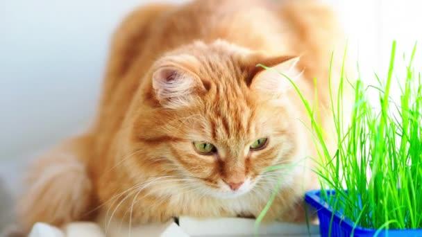 Roztomilá zázvorová kočka dřímá na okenní parapetu blízko zelených listů vnitřní továrny. Chlupaté zvířátko se speciální trávou pro kočky doma.