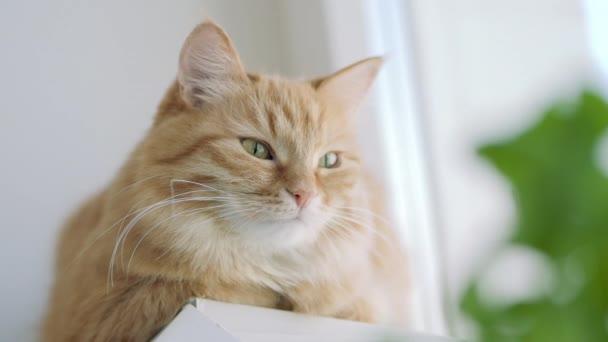 Roztomilá zázvorová kočka dřímá na okenní parapetu blízko zelených listů vnitřní továrny. Chlupaté zvířátko doma. Plochý profil.