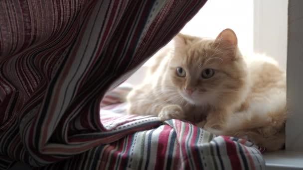 Roztomilá zázvorná kočka ležící na červených proužkovaných záclonách. Chlupaté zvíře dřímá na okenní parapetu. Útulný domov.