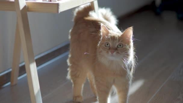 Roztomilá zázvorná kočka pozoruje sluneční paprsky. Chlupaté zvířátko zvědavě zírá. Plochý klip.
