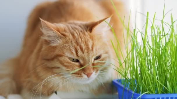 Cute ginger cat dozing on window sill near green leaves of indoor plant. Fluffy pet with special grass for cats at home.