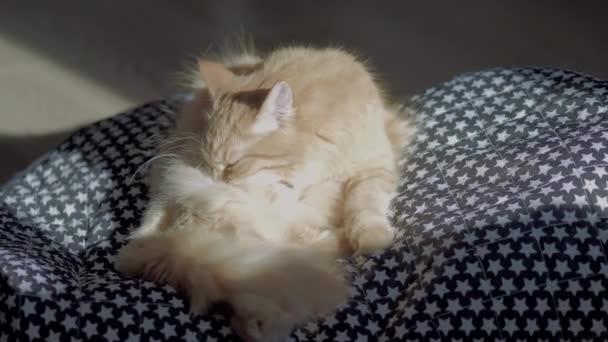 Aranyos gyömbér macska ülő szőnyeg csillagos mintával. Bolyhos kisállat van nyalás maga. Napsütéses nap a kényelmes otthon. Lapos profil.