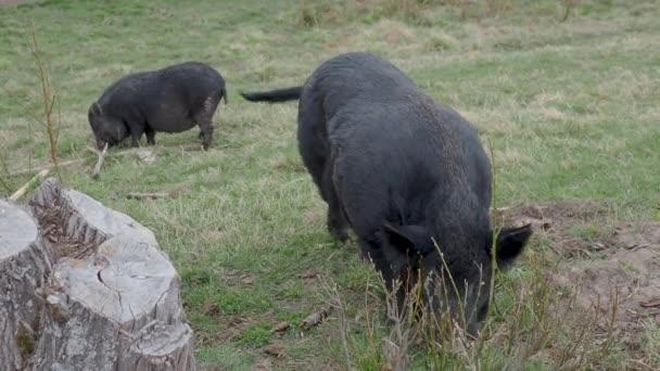 Pair of Vietnamese Pot-bellied pigs eats grass. Farm animals grazing on field.