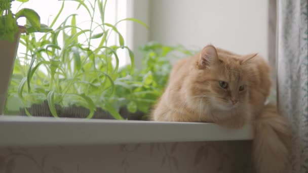 Roztomilá zázvorná kočka sedí na okenní parapetu nedaleko květináčů s raketovým salátem, bazalkou a kočičí trávou. Chlupaté zvířátko zvědavě zírá. Útulný domov s rostlinami.