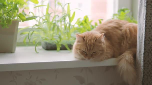 Aranyos gyömbér macska ül ablakpárkányon közelében virágcserepek a rakéta saláta, bazsalikommal és macska fű. Bolyhos kisállat van bámult kíváncsian. Meghitt otthon növényekkel.