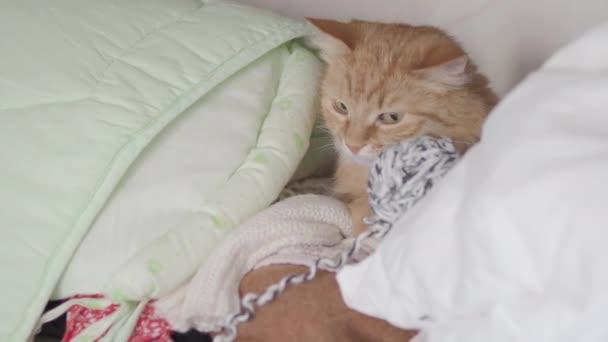 Aranyos gyömbér macska feküdt a polcra között szövet és fonal. Bolyhos kisállat van szuszezés. Otthonos otthon. Lapos profilklip.