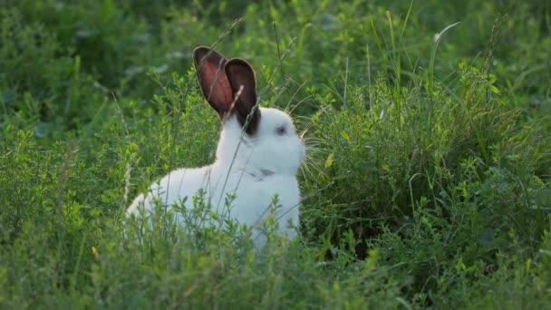 weiße Kaninchen mit schwarzen Ohren, die im Gras kriechen. Sommer Sonnenuntergang Hintergrund mit flauschigen Nutztier.