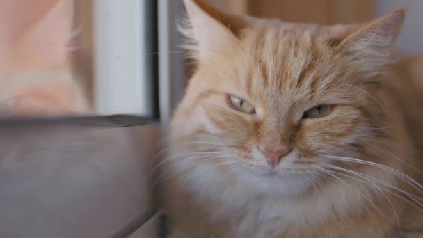 Pěkná zázvorná kočka dřímá na okenní parapetu. Zavřít pomalý pohyb Chlupaté mazlíčky.