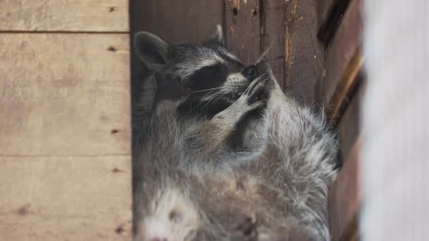 Pair of racoons Procyon lotor licking each other. Funny animals in wooden house.