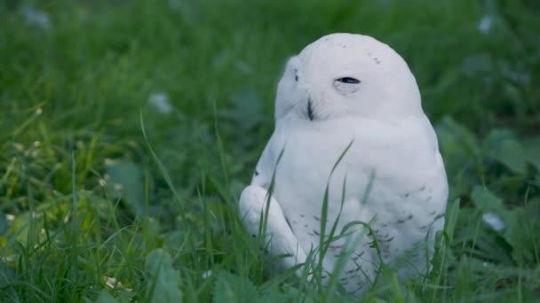 Sněžná sova Bubo scandiacus se na trávě oplácí. Krásný bílý noční pták.