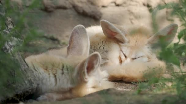 Sleeping fennec fox, or fennec. Vulpes Fennecus zerda.