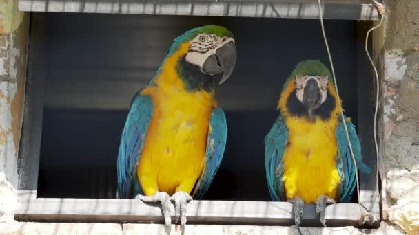 Dvojice modrých a žlutých ARA, Ara ararauna, známá také jako modrá a zlatá ARA,
