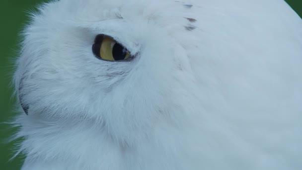 Uzavřete portrét Sněžná sova, Bubo scandiacus. Krásný bílý noční pták.