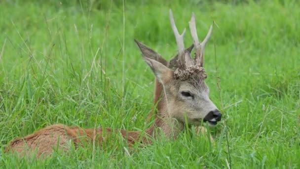 Damhirsche liegen im Gras und kauen etwas. dama dama, wiederkäuendes Säugetier,