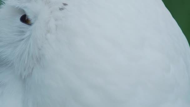 Közelről portré havas bagoly, Bubo scandiacus. Gyönyörű fehér éji madár.