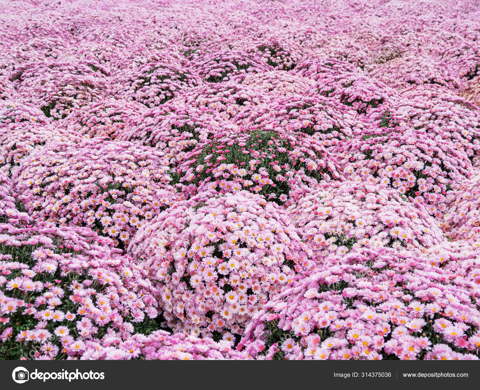 Large Outdoor Flower Beds With Pink Chrysanthemums Stock Photo