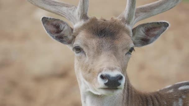 Uzavřete portrét jelena Fallowa. Dama dama, přežvýkavec savec,