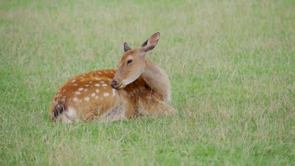 Sika jelena, Cervus nippon leží v trávě a něco žvýká. Skvrnitý jelen nebo japonský jelen, savec přežvýkavec,