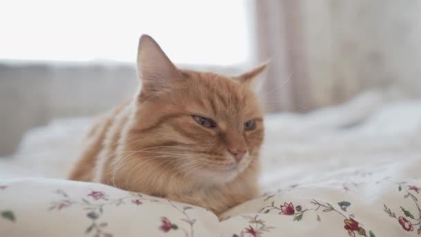 Roztomilá zázvorná kočka ležící v posteli. Ranní postel v útulném domě. Chlupaté zvíře dřímá na přikrývce.