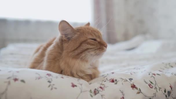süße Ingwerkatze im Bett liegend. Morgens vor dem Schlafengehen im gemütlichen Zuhause. flauschiges Haustier döst auf Decke.