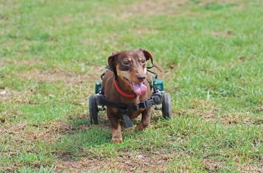 Dachshund in a wheelchair walking on the green grass