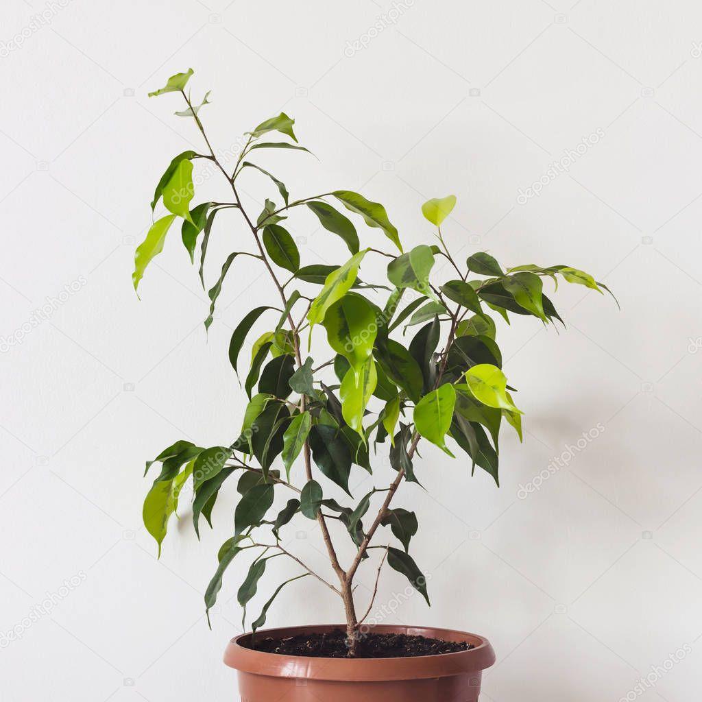 Ficus Benjamin Plant in ceramic pot on White Background