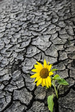 dry soil of a barren land and single growing plant - alone sunflower. ecological disaster, soils of the sunflower field