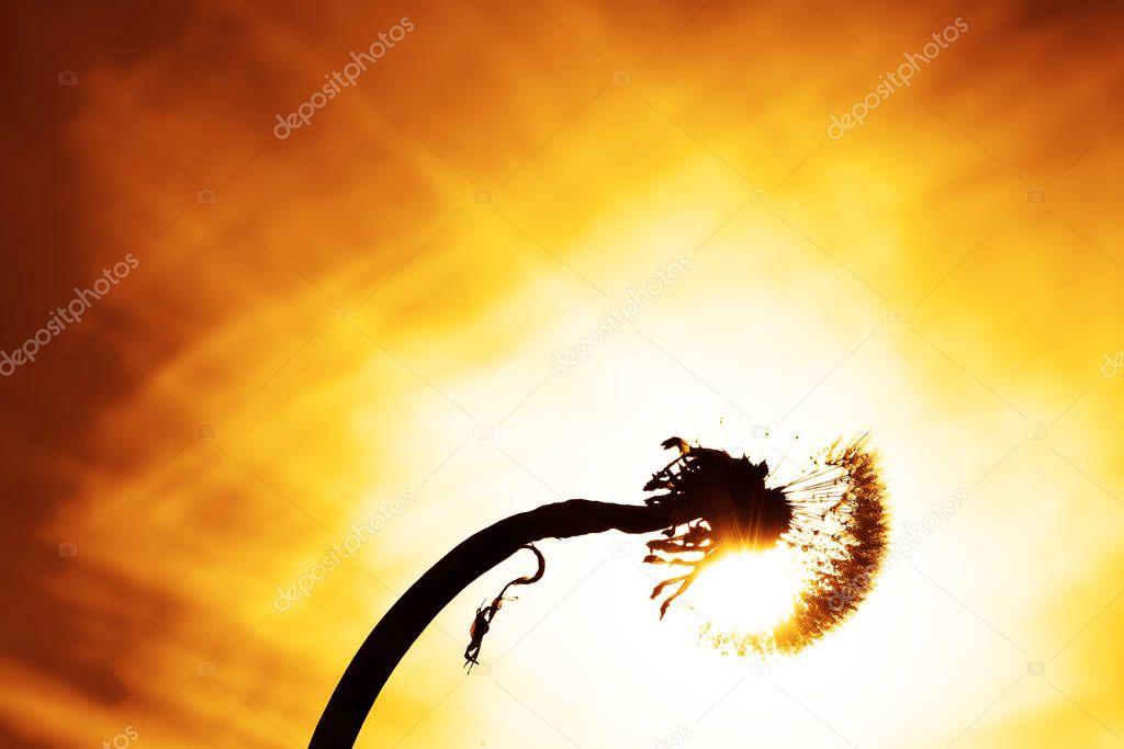 silhouette of dandelion  against sky. Sunny summer day. I
