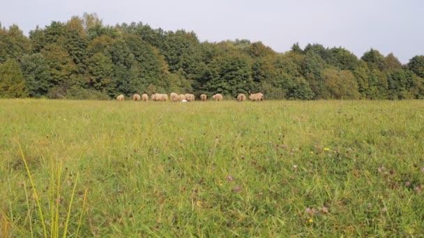 Stádo ovcí malých i velkých oděrek na louce