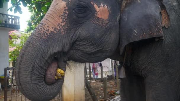 elefánt néhány banánt eszik (közelről)