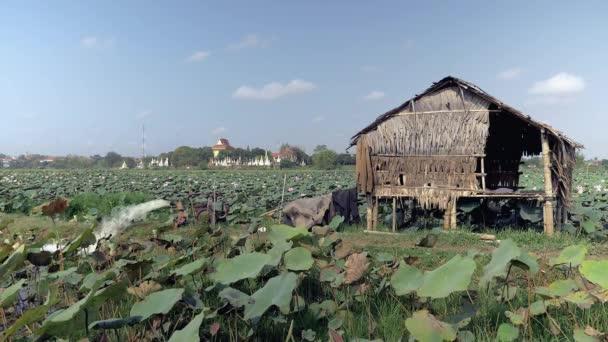 Malá Chata uprostřed pole aplikace lotus (Nelumbo Nucifera); Pagoda v pozadí
