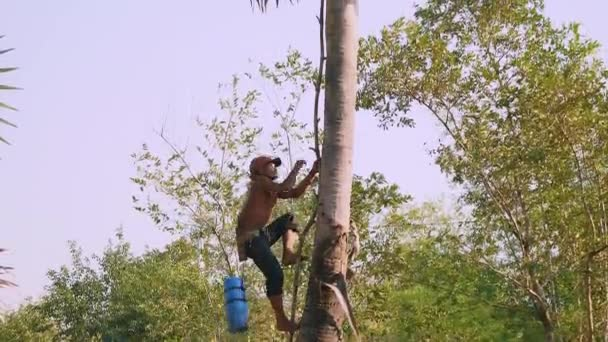 Toddy-tapper climbing a palm tree to collect palm sap