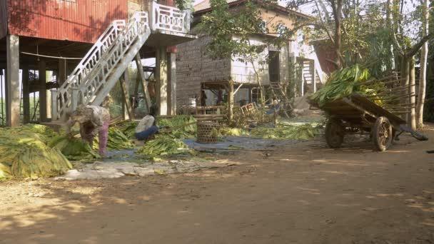 Ženy, vázání svazků tabákových listů na hole pro sušení před jejich domem chůdách. Farmář vázání balíčků tabáku, sklizené listy na hole v košíku na pravé straně