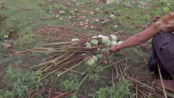 Harvesting lotus seedpods (Nelumbo Nucifera) ( close up )