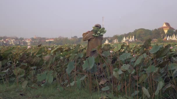 Farmer walking on edge of lotus field and picking fresh seedpods (Nelumbo Nucifera)