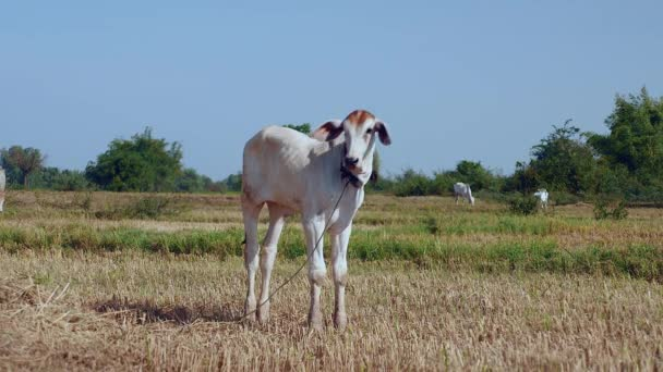 close up of a young cow standing in a hayfield. White cows grazing as backdrop