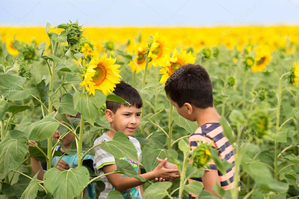 Boys walk on sunflowers  field in sunny hot day. Two boys in the foreground shake each other hands, showing firm friendship or conclude a bet arguing on something