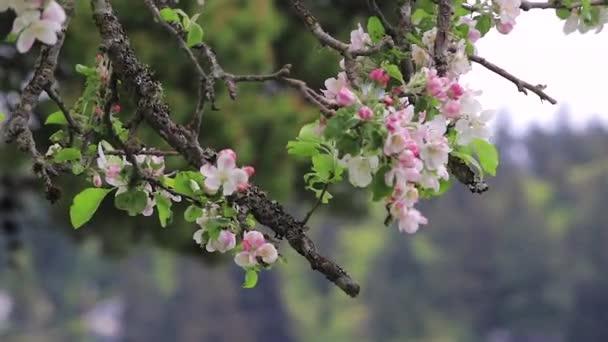 růžový Třešňové květy na větvi