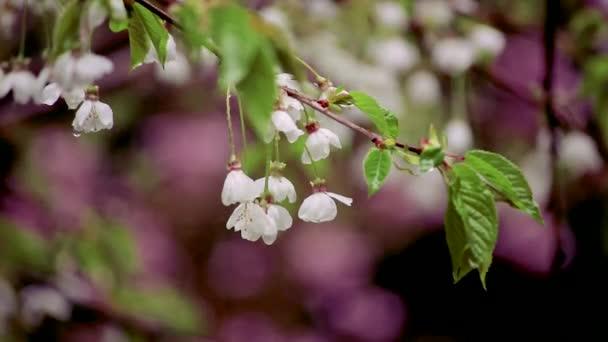 dešťové kapky na banda bílé Třešňové květy brzy na jaře