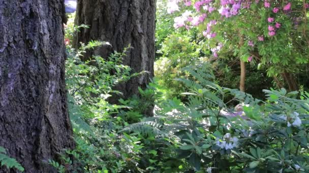 pink rhododendron bush in bloom behind fern in forest setting