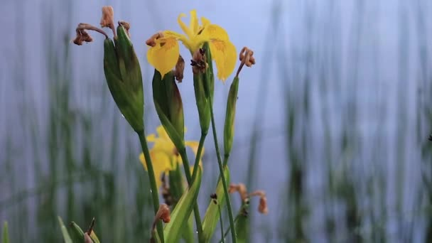 zoom on yellow iris