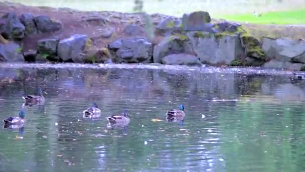 a flock of mallard ducks on a park pond