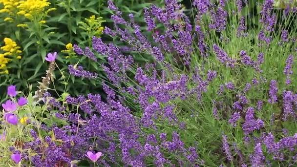 Francouzská levandule s včely