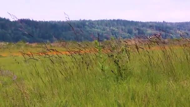 vysoká tráva v mokřadní oblasti v mlžném oparu letního dne